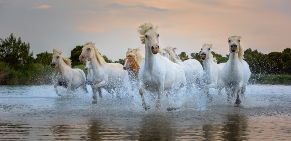 Wild Horses in the Camargue